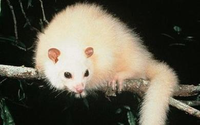 WHITE_possum_1125580c