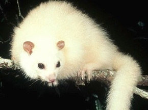 New Scientist: Ghost of the cloud forest -Seeking the white possum