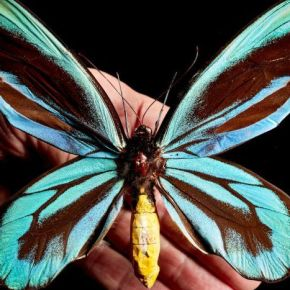 Chasing butterflies, and what you find along the way:  ABC RN's Science Friction